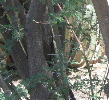Acacia farnesiana 6