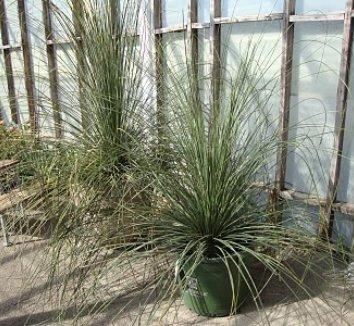 Dasylirion longissimum 8 young plant