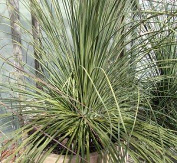 Dasylirion longissimum 10 young plant