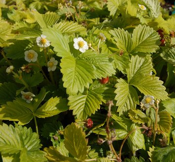 Fragaria vesca 'Golden Alexandra' 1 flower, fruit
