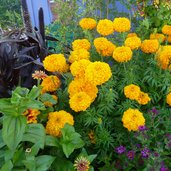 Tagetes 'Day of the Dead Golden Yellow'