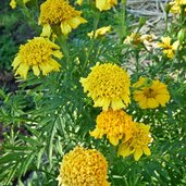 Tagetes 'Thai Temple'