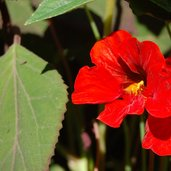 Tropaeolum 'Empress of India'