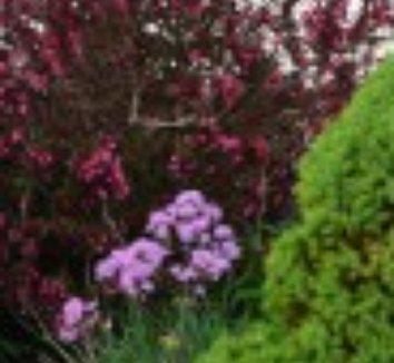 Thalictrum aquilegiifolium 'Black Stockings' 10 flower