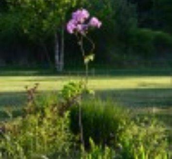 Thalictrum aquilegiifolium 'Black Stockings' 12 flower