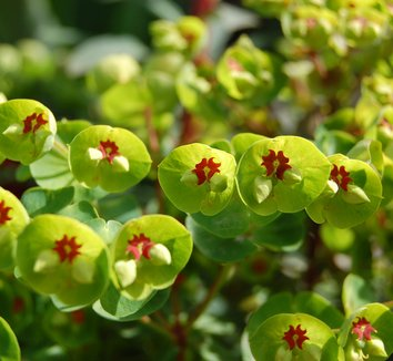 Euphorbia 'Tiny Tim' PP16930 2 flower