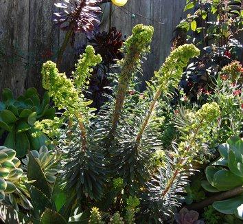 Euphorbia 'Tiny Tim' PP16930 8 landscape