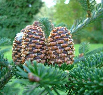Abies fraseri 1 cones