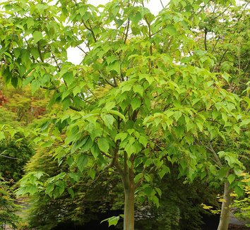 Acer conspicuum 'Silver Vein' 1 form