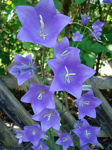 Цветы уличные колокольчики