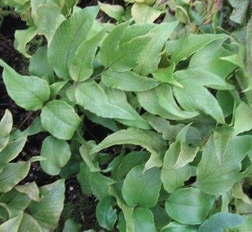 Cyrtomium macrophyllum 1