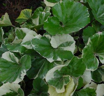 Farfugium japonicum 'Argenteum' 2