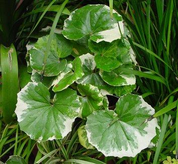 Farfugium japonicum 'Argenteum' 4