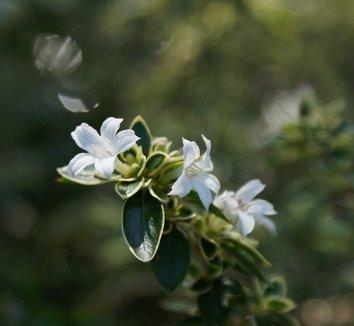 Serissa foetida 'Variegata' 1 flower