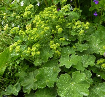 alchemilla mollis lady 39 s mantle plant lust. Black Bedroom Furniture Sets. Home Design Ideas
