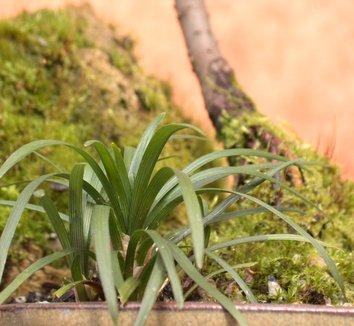 Ophiopogon japonicus 'Nanus' 14