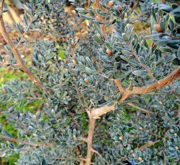 Leptospermum lanigerum 4