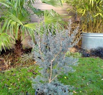 Leptospermum lanigerum 2