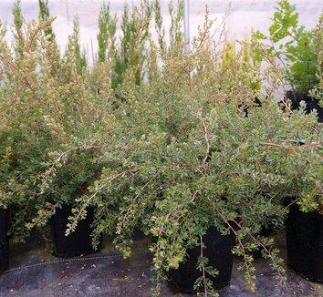 Leptospermum lanigerum 9