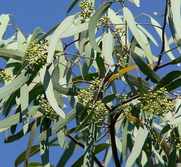 Eucalyptus microtheca [Phoenix, AZ] 1