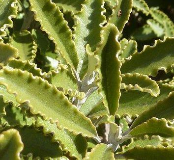Brachyglottis monroi 5