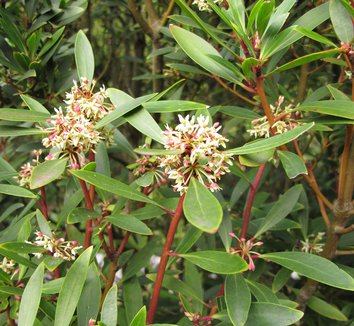 Drimys lanceolata 8 flower
