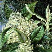 Olearia argophylla