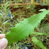 Banksia integrifolia subsp. monticola