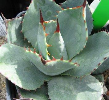 Agave parryi var. huachucensis 2