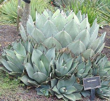 Agave parryi var. huachucensis 3 form