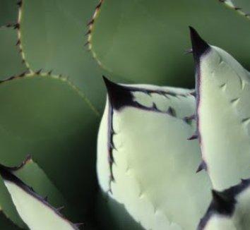 Agave parryi var. huachucensis 9