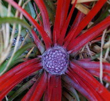 Fascicularia bicolor subsp. caniculata 1
