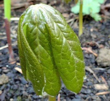 Podophyllum peltatum 6