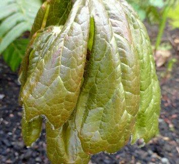Podophyllum peltatum 5