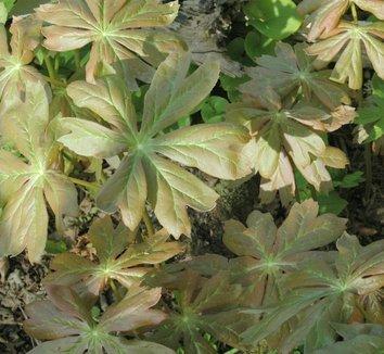 Podophyllum peltatum 11