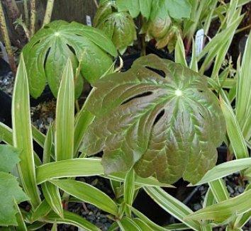 Podophyllum peltatum 13