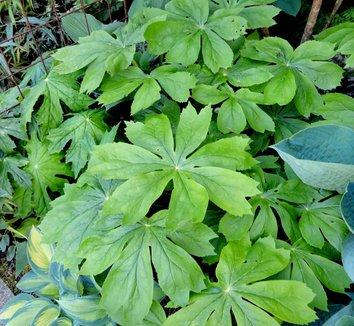 Podophyllum peltatum 16