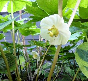 Podophyllum peltatum 18 flower