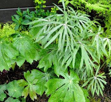 Podophyllum peltatum 21