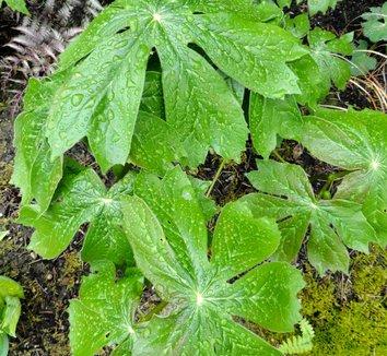 Podophyllum peltatum 22