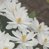 Sanguinaria canadensis 'Jerry Flintoff'