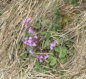 Soldanella montana 6 flower