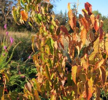 Acer caudatifolium [PMDT 18] 1