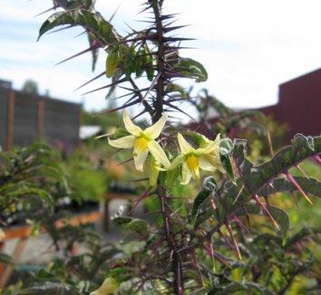 Solanum atropurpureum 1 flower