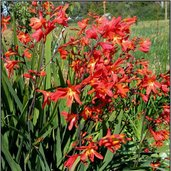 Crocosmia 'Carmin Brilliant'