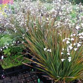 Libertia 'Amazing Grace'
