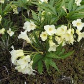 Cardamine enneaphylla
