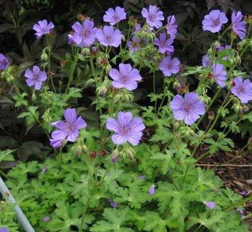 Geranium libani 1 flower