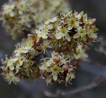 Shepherdia argentea 7 flower