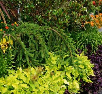 Persicaria amplexicaulis 'Golden Arrow' 8